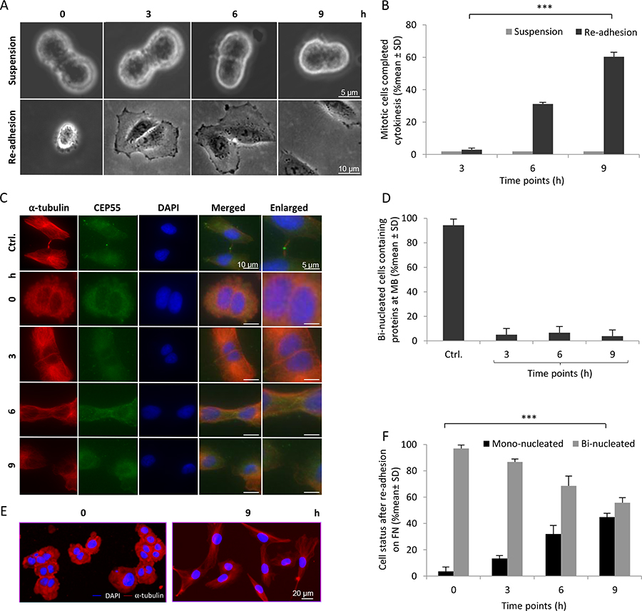 Abscission is completed in the absence of midbody proteins after re-adhesion of 3 hours suspended BJ fibroblasts.