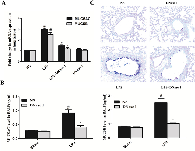 Degradation of NETs by aerosolized DNase I decreased LPS-induced mucus hypersecretion in mice.