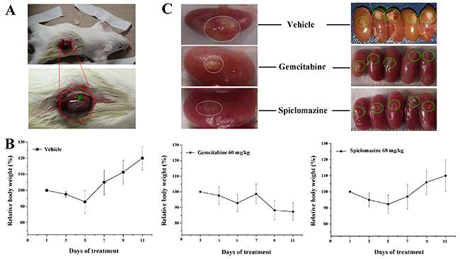 Spiclomazine exhibits in vivo antitumor activity in pancreatic cancer MIA PaCa-2 xenograft model.