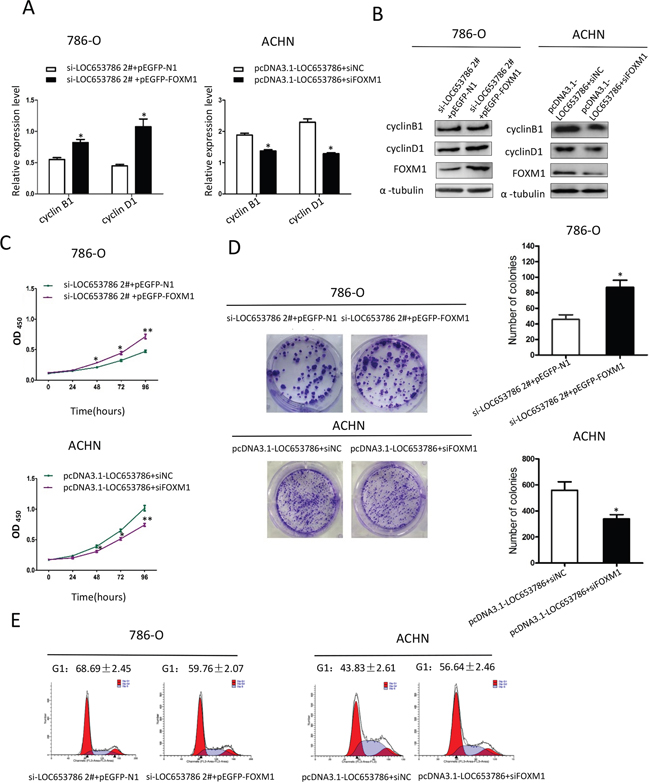 LOC653786 promotes RCC cell growth and cell cycle progression through elevating FOXM1.