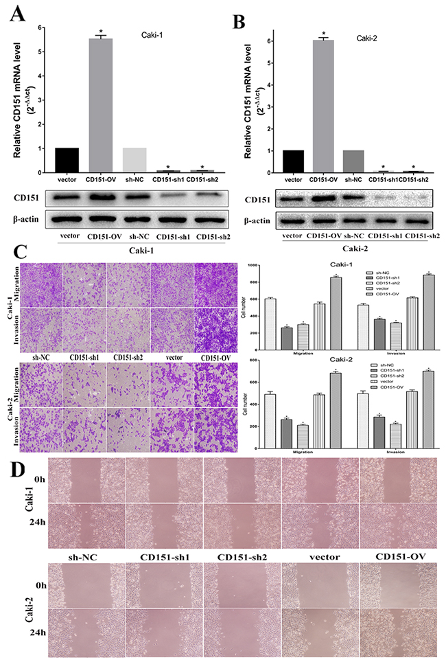 CD151 inhibits cell migration and invasion in the Caki-1 and Caki-2 cell lines.