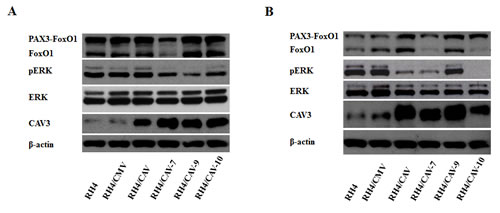 CAV1 affects ERK phosphorylation and promotes changes in CAV3.