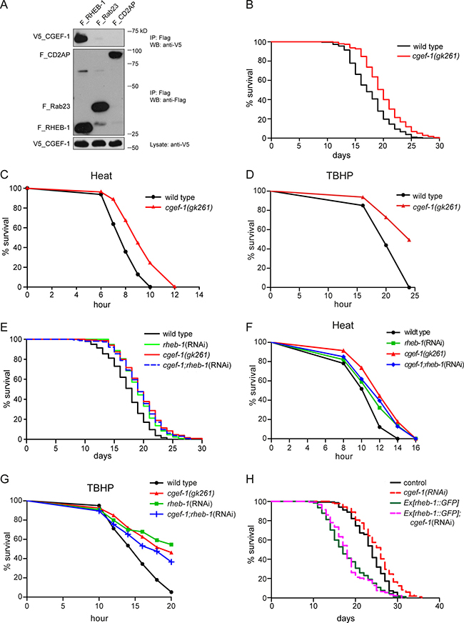 CGEF-1 is a novel RHEB-1 binding partner and functions in the same pathway with RHEB-1 to regulate longevity and stress response in C. elegans.