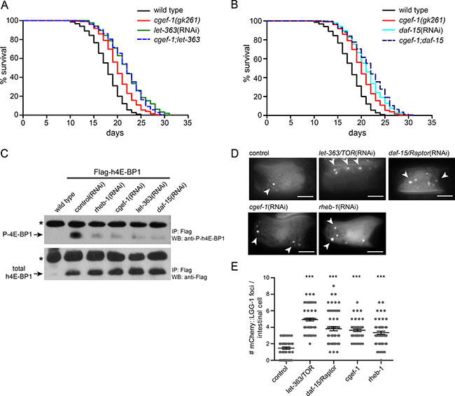cgef-1 functions in the mTORC1 signaling pathway.