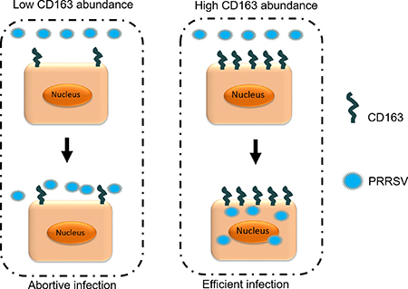 Relationship between CD163 abundance and viral infection.