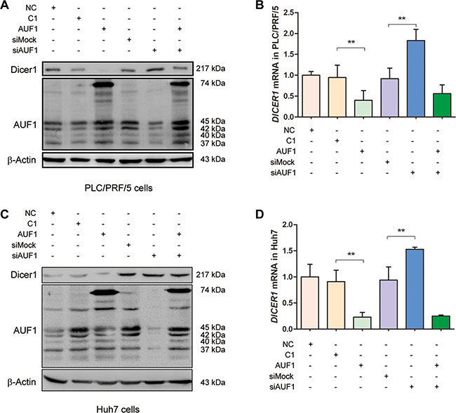 AUF1 suppresses the expression of Dicer1.