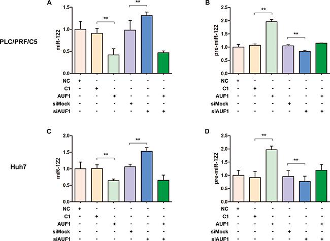 AUF1 regulates the maturation of miR-122.