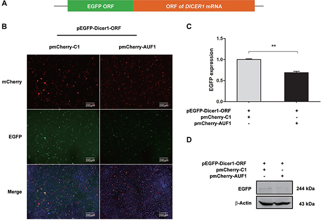 AUF1 interacts with the coding region of DICER1 mRNA and regulates its expression.