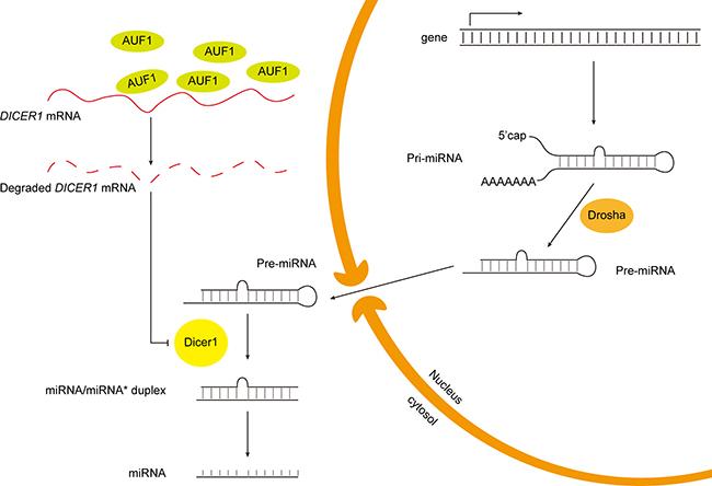 Schematic diagram of the putative mechanism of AUF1 regulating miR-122 maturation.