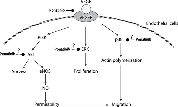 Schematic illustration of potential action mechanisms of Ponatinib in angiogenesis.