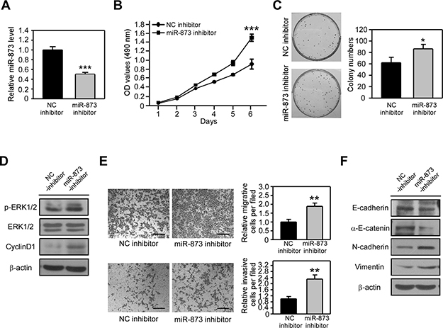 MiR-873 inhibition promotes CRC cell proliferation, migration and invasion