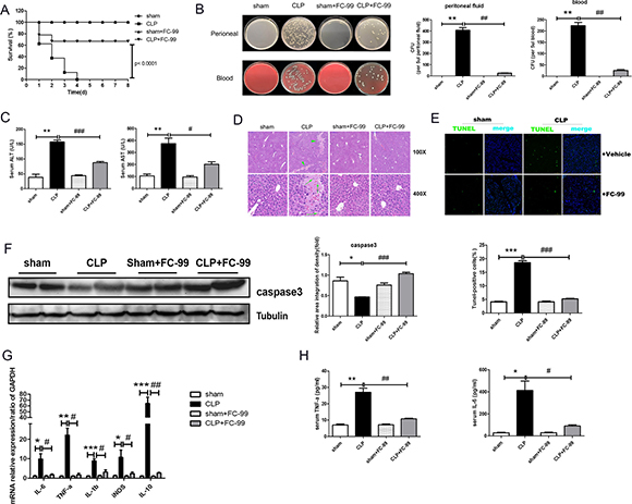 effects of fc-99 on clp-induced pathological changes in the liver tissue of