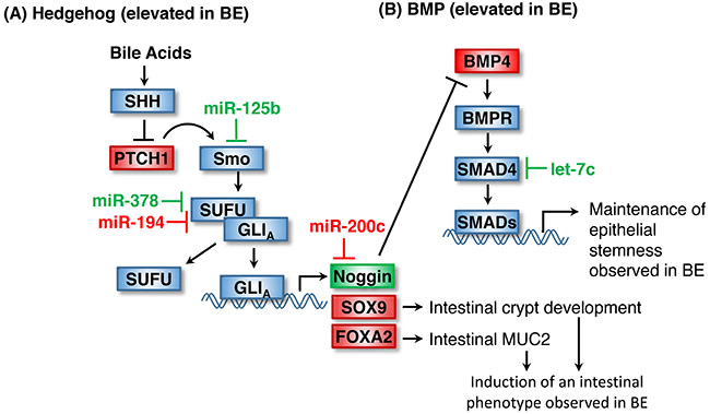 Maintenance of stemness in BE by Hedgehog and BMP signaling.
