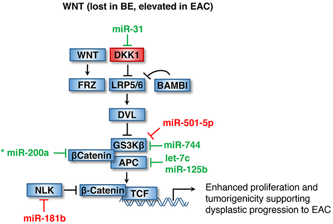 Dysplastic progression to EAC through WNT activation.