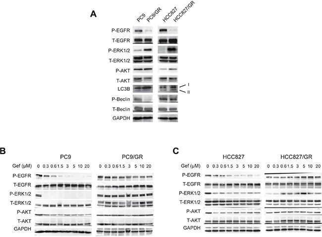 ERK phosphorylation is activated in gefitinib-resistant NSCLC cells.