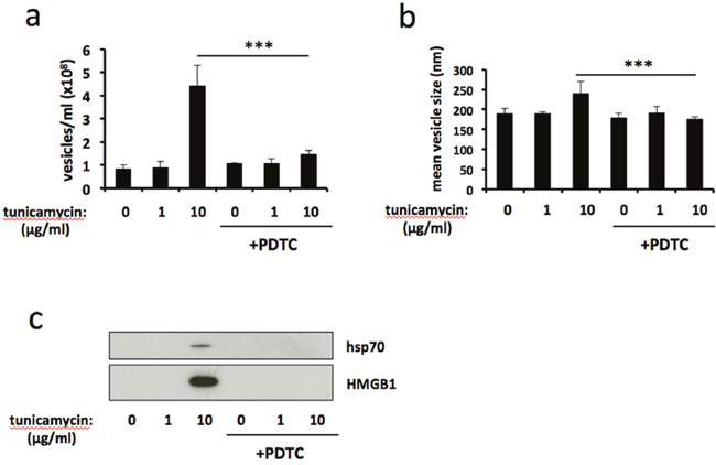 Antioxidant treatment attenuates ER stress-induced release of extracellular vesicles.