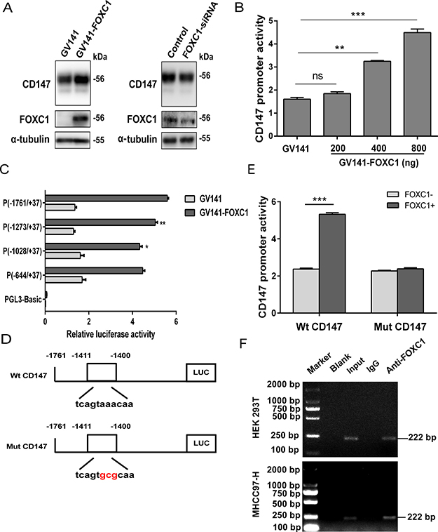 Transcriptional regulation of CD147 by FOXC1.
