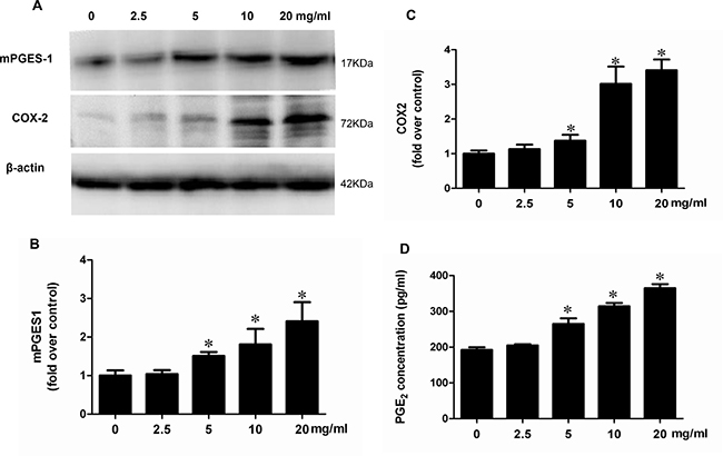 Albumin stimulated the protein expressions of COX-2 and mPGES-1 and PGE2 release in a dose-dependent manner in mPTCs.