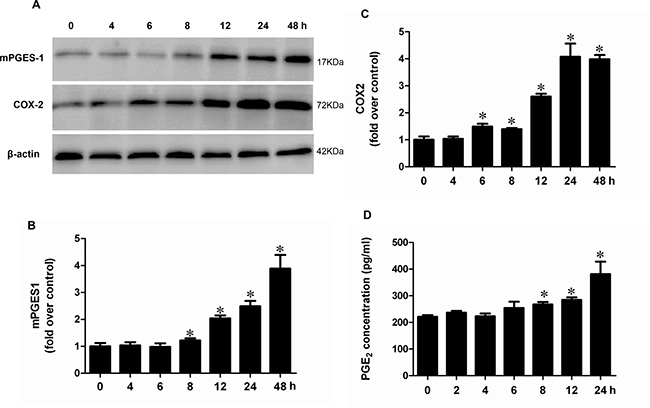 Albumin stimulated the protein expressions of COX-2 and mPGES-1 and PGE2 release in a time-dependent manner in mPTCs.