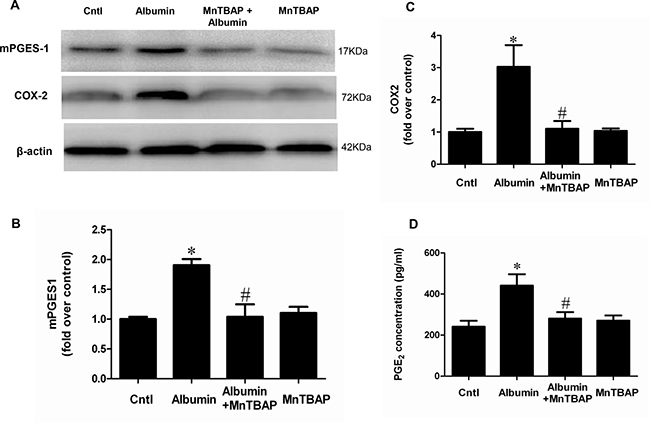 MnTBAP treatment reversed the effects of albumin on the protein expressions of COX-2 and mPGES-1 and PGE2 release in mPTCs.