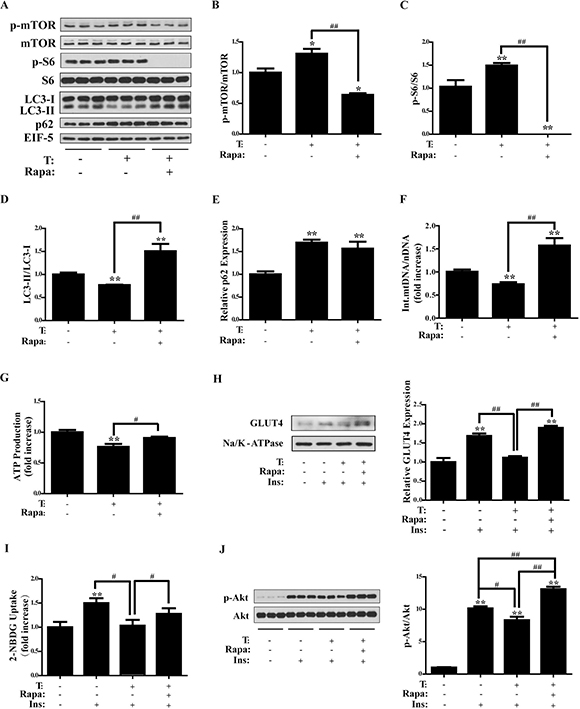 Effects of rapamycin on testosterone-treated C2C12 cells.