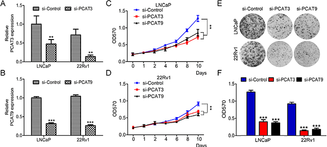 LncRNAs PCAT3 or PCAT9 knockdown suppresses prostate cancer LNCaP and 22Rv1 cell proliferation.