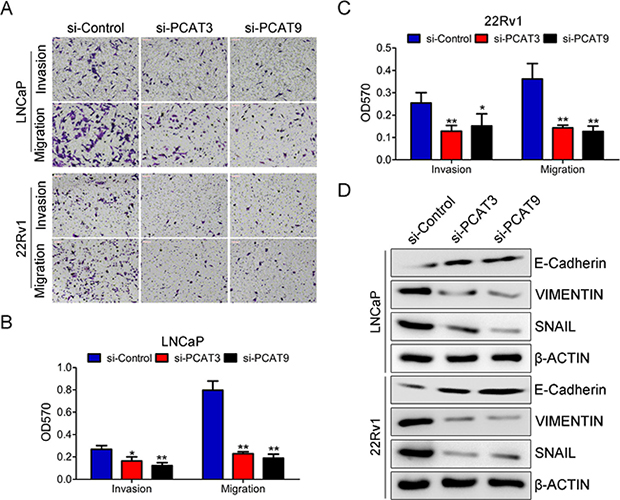 Silence of PCAT3 or PCAT9 significantly inhibits migration of LNCaP and 22Rv1 cells.