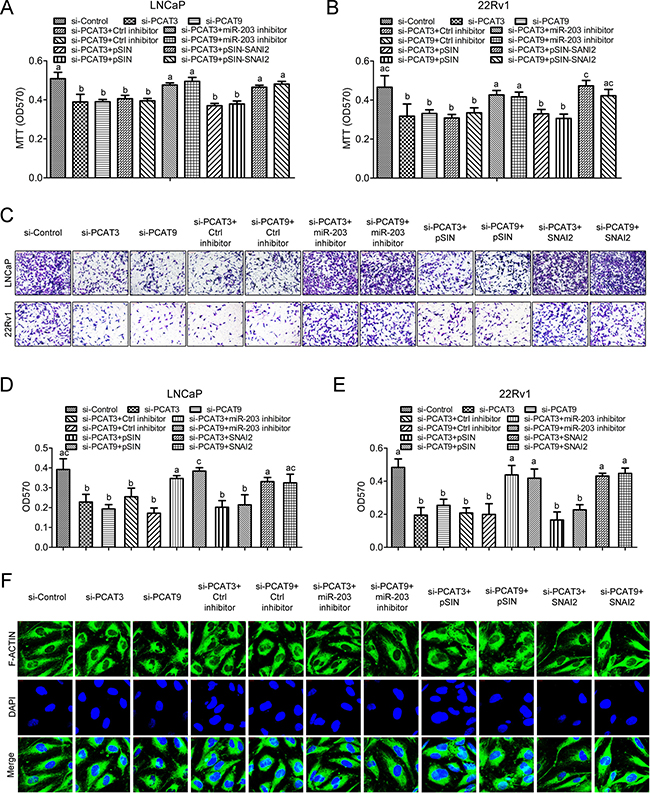 The PCAT3/PCAT9-miR-203/SNAI2 regulatory axis regulates prostate cancer cell proliferation and migration.