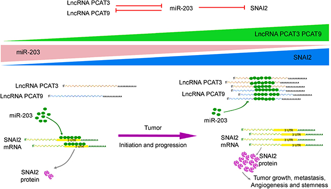 Schematic representation to show the expression and function of the PCAT3/PCAT9-miR-203-SNAI2 axis in prostate cancer.