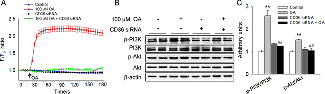 OA increased [Ca2+]i and activated the PI3K/Akt signaling pathway in a CD36-dependent manner.
