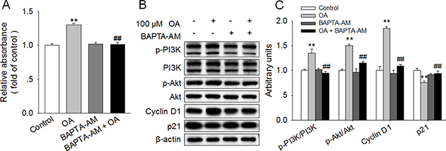 Chelation of [Ca2+]i reversed the OA-induced activation of PI3K/Akt and promotion of HC11 proliferation.