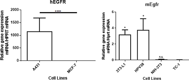 EGFR mRNA expression in vitro in 2 human cell lines (A431 and MCF-7) and 4 murine cell lines (3T3-L1, HPV38, NIH-3T3, and TC-1).