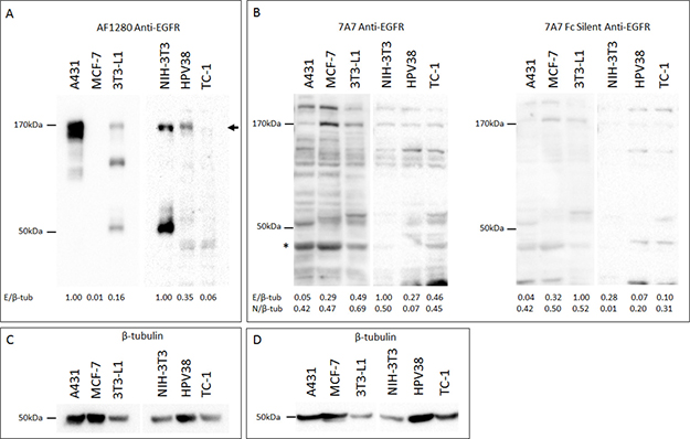 7A7 and 7A7 Fc Silent do not detect EGFR expression by Western blot.