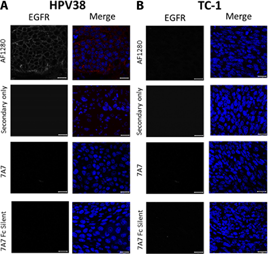 7A7 and 7A7 Fc Silent do not detect EGFR expression in HPV38 tumour tissue by immunofluorescence.