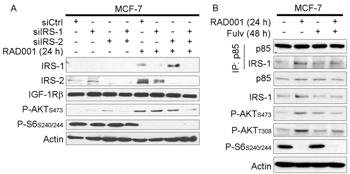 mTORC1 inhibitor-induced feedback activation of PI3K/AKT requires IRS-1/2.