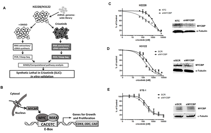RNAi-based screen identifies MYCBP as synthetic lethal in