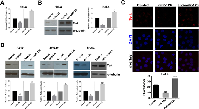 miR-128 reduces the expression of TERT mRNA and protein.