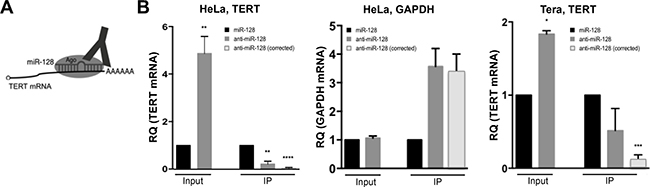 miR-128 directly interacts with TERT mRNA in cells.