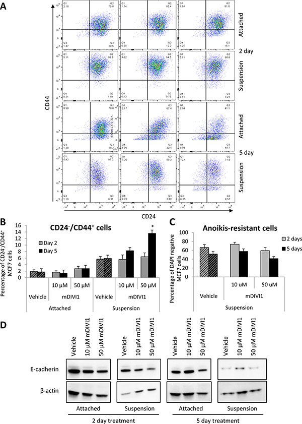 mDIVI1 treatment significantly increases the CD24−/CD44+ population of MCF7 cells at high concentrations.
