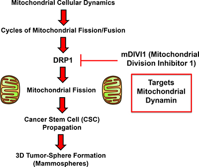 Schematic diagram summarizing our approach using mDIVI1 to investigate the role of mitochondrial fission/fusion in CSC propagation.