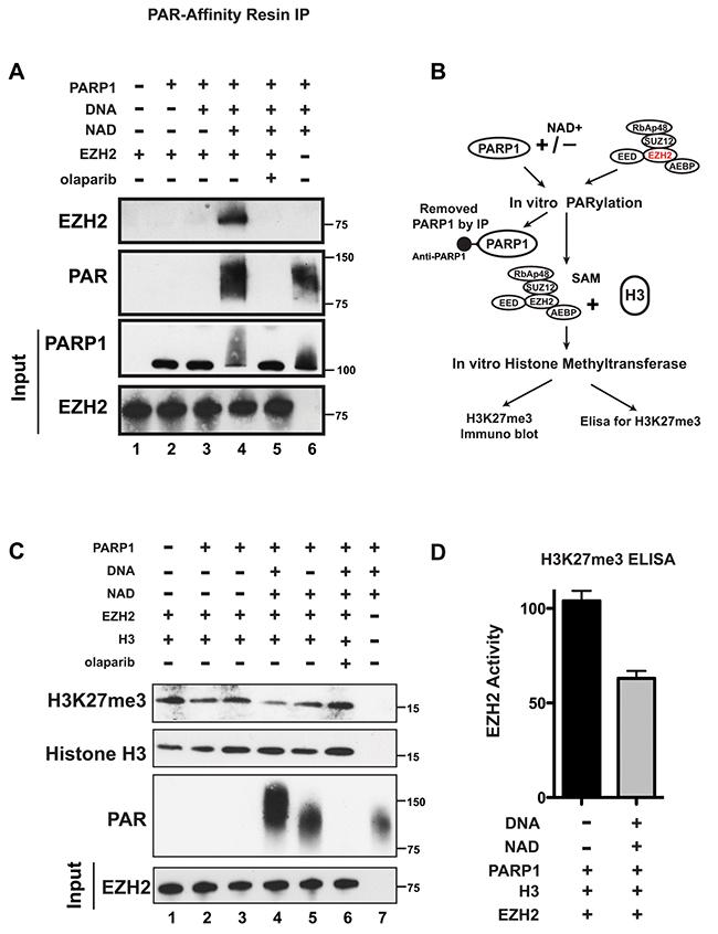 PARP1 PARylates EZH2 and inhibits EZH2 activity in vitro.
