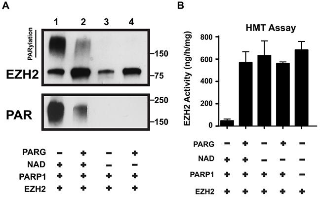 PARG reverses EZH2 PARylation and restores EZH2 enzymatic activity.