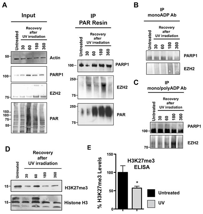 EZH2 PARylation decreases global H3K27me3 levels after DNA damage.