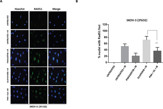 Pimasertib impairs RAD51 foci formation induced by olaparib in BRCA-2 proficient SKOV-3 cells.