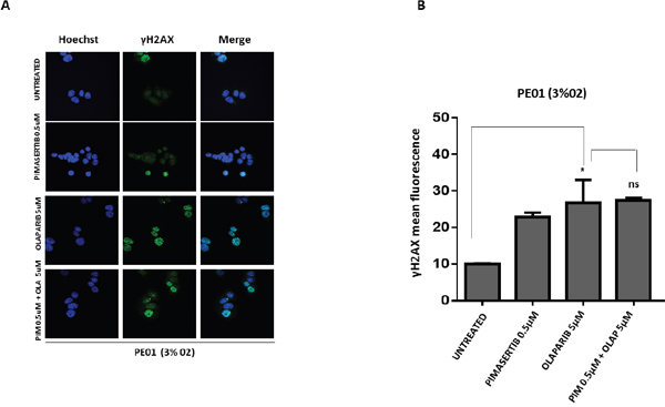 The cytotoxic activity of PARP inhibitors is not affected by the MEK inhibitor in BRCA2 mutant cell line PE01.