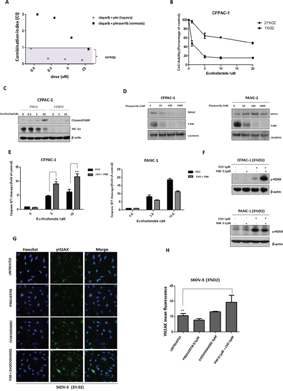 Pimasertib downregulates BRCA2 protein and sensitizes pancreatic cancer cells to the PARP inhibitor olaparib and the hypoxia-activated pro-drug evofosfamide.