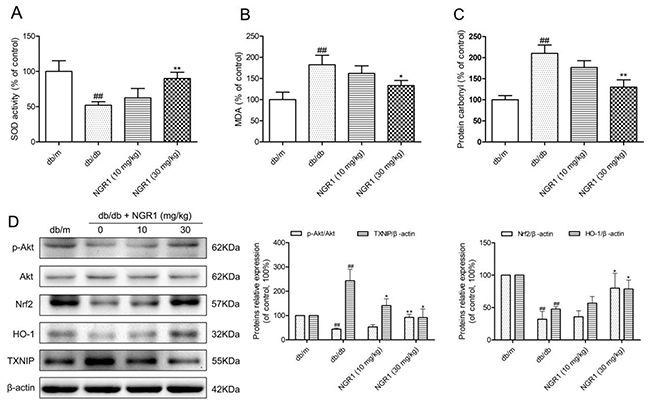 NGR1 inhibits oxidative stress by up-regulating the Akt/Nrf2/HO-1 pathway in the hippocampus of db/db mice.