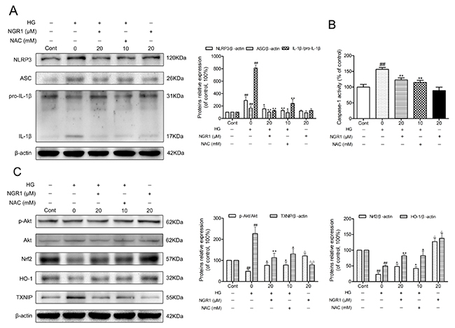 NGR1 activates the Akt/Nrf2/HO-1 pathway, and inhibits NLRP3 inflammasome activation in HG-induced HT22 hippocampal neurons.