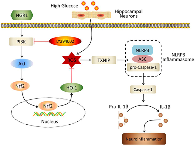 Schematic of NGR1 mechanism of ameliorating DEP by activating the Akt/Nrf2/HO-1 pathway and inhibiting NLRP3 inflammasome activation.