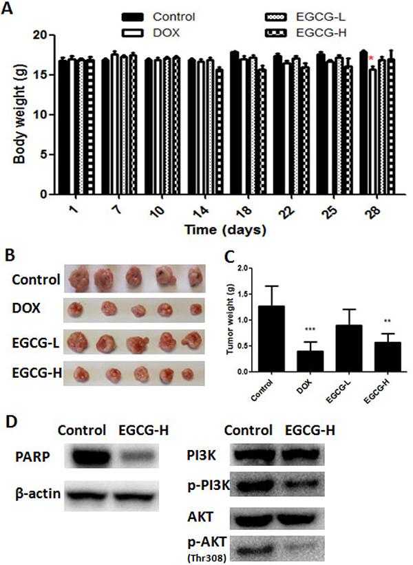 In vivo anti-tumor effect of EGCG in T24 nude mice xenograft tumor model.